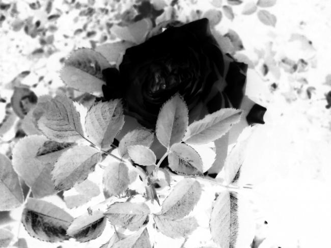 black ,rose ,sad ,love